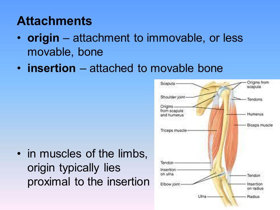 Attachments origin – attachment to immovable, or less movable, bone