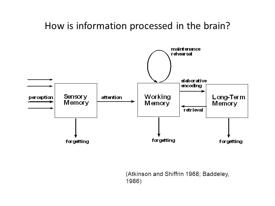 How is information processed in the brain