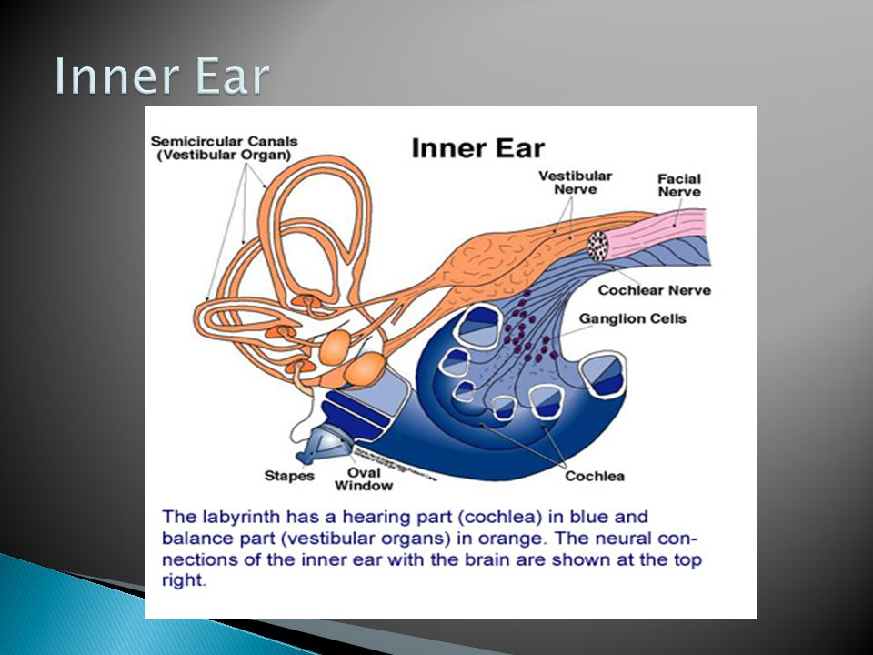 Inner Ear Let's review the anatomy before we discuss the hearing tests and physical exam