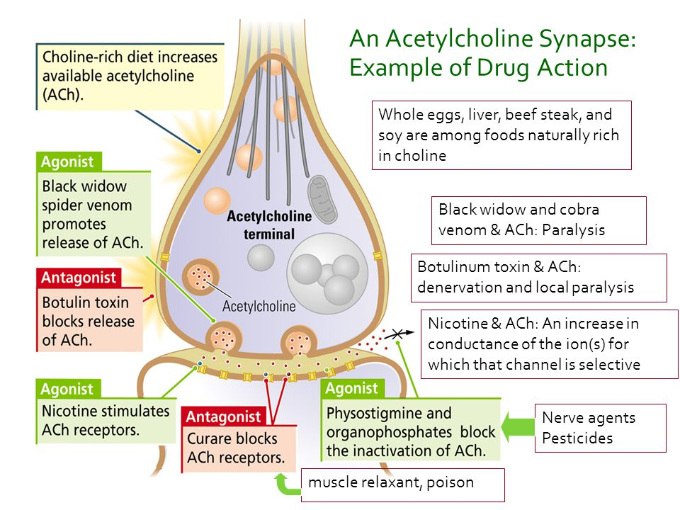 An Acetylcholine Synapse: Example of Drug Action
