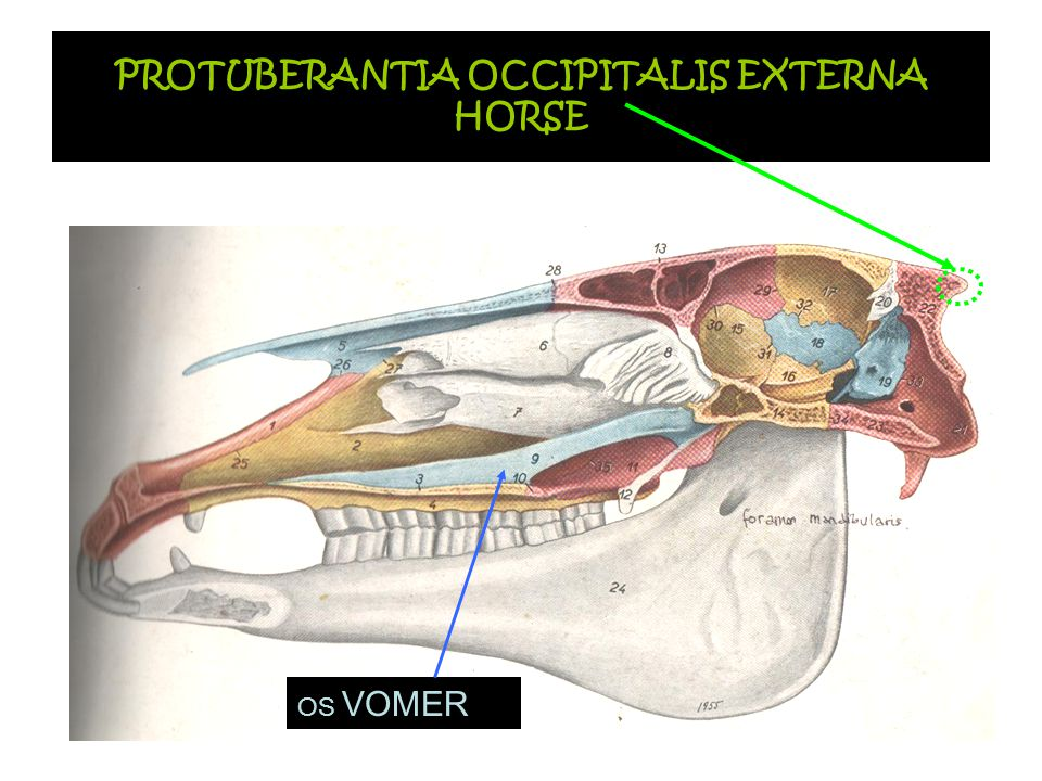 PROTUBERANTIA OCCIPITALIS EXTERNA HORSE
