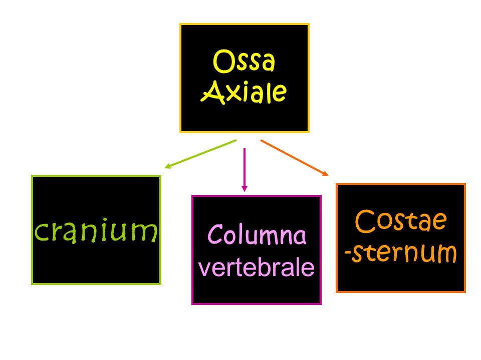 Ossa Axiale cranium Costae -sternum Columna vertebrale