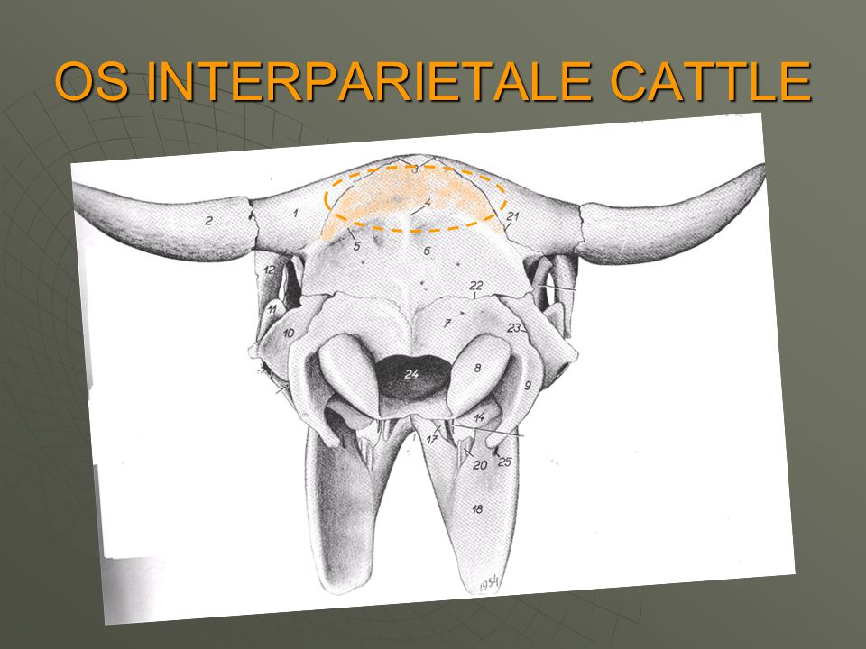 OS INTERPARIETALE CATTLE