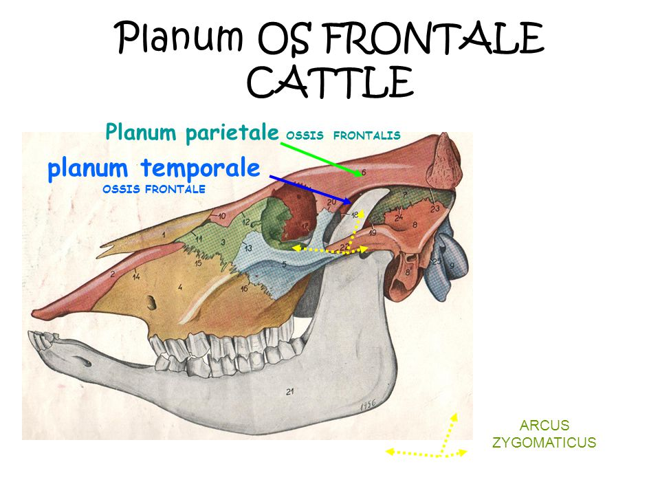 Planum OS FRONTALE CATTLE