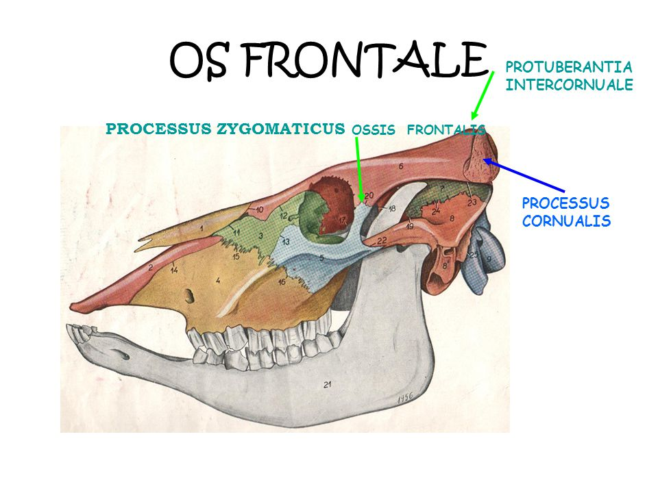 OS FRONTALE PROCESSUS ZYGOMATICUS OSSIS FRONTALIS
