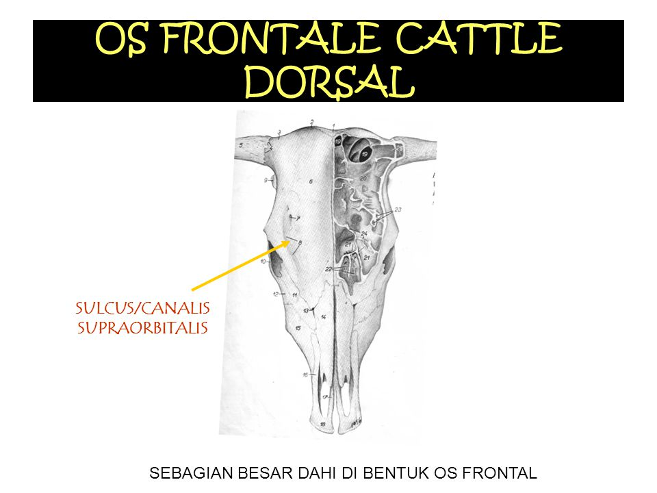 OS FRONTALE CATTLE DORSAL
