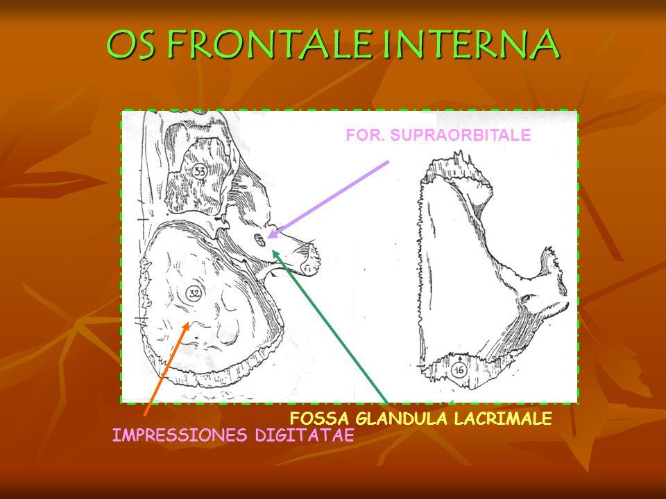 OS FRONTALE INTERNA FOR. SUPRAORBITALE FOSSA GLANDULA LACRIMALE