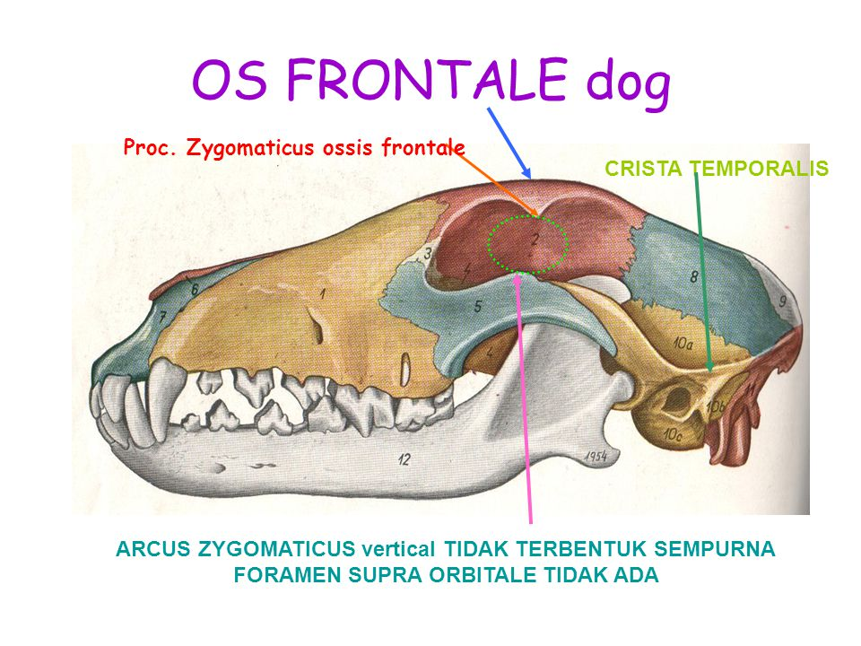 OS FRONTALE dog Proc. Zygomaticus ossis frontale CRISTA TEMPORALIS