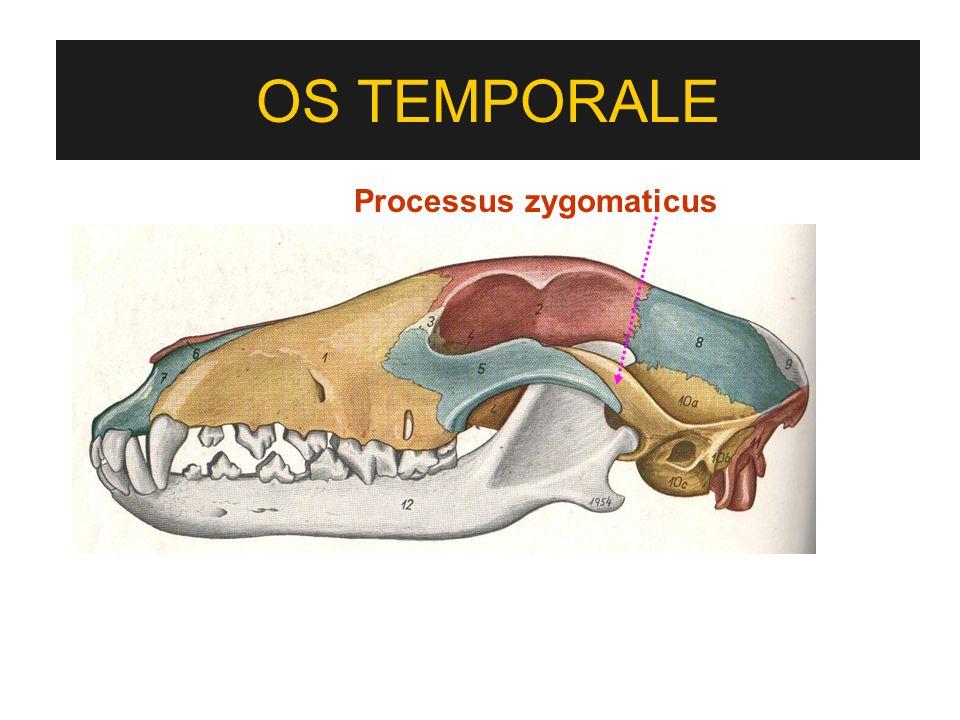 OS TEMPORALE Processus zygomaticus