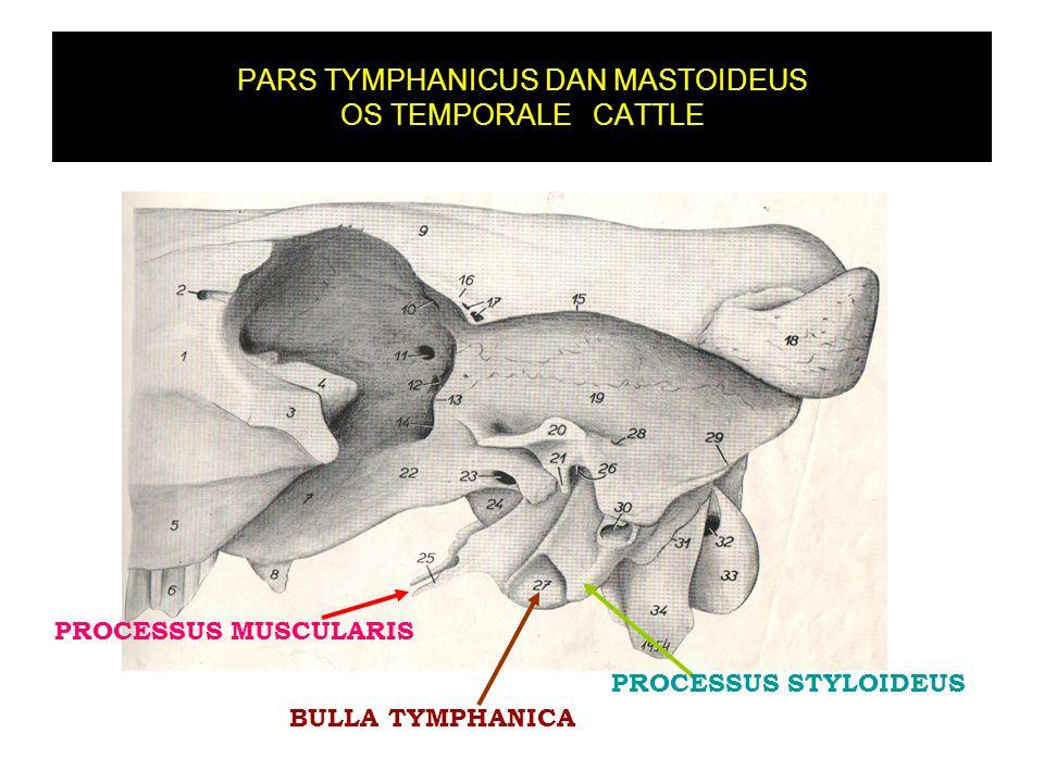 PARS TYMPHANICUS DAN MASTOIDEUS OS TEMPORALE CATTLE