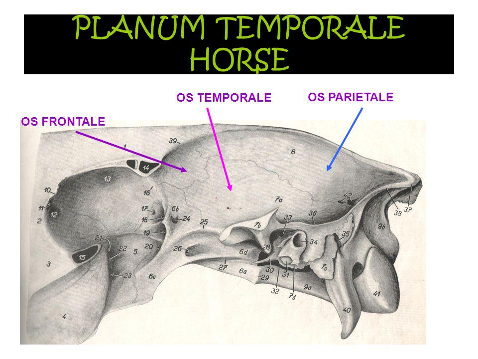 PLANUM TEMPORALE HORSE