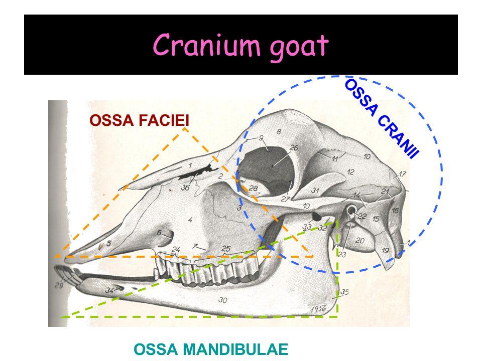 Cranium goat OSSA FACIEI OSSA CRANII OSSA MANDIBULAE