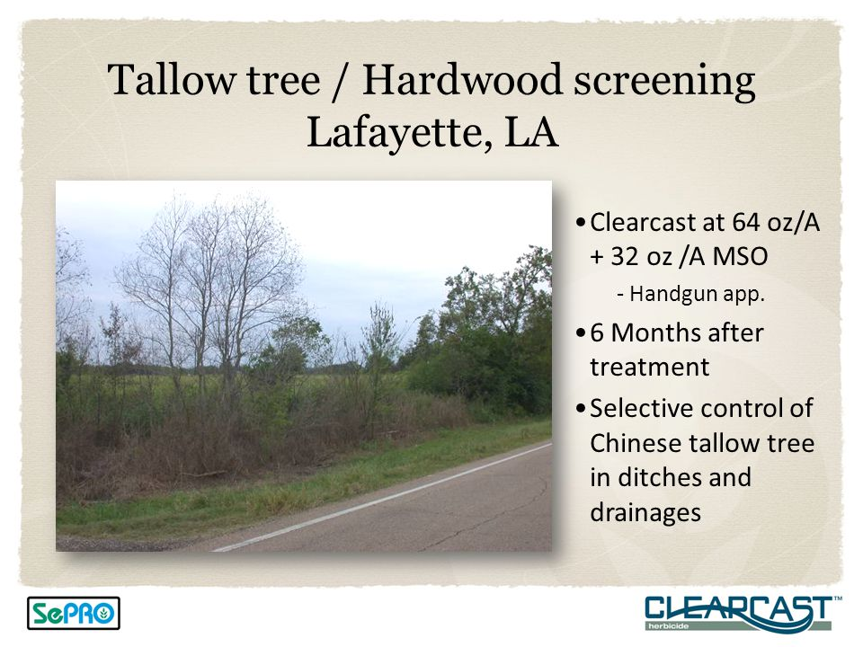 Tallow tree / Hardwood screening Lafayette, LA