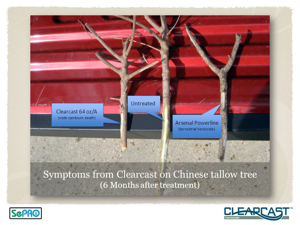 Symptoms from Clearcast on Chinese tallow tree