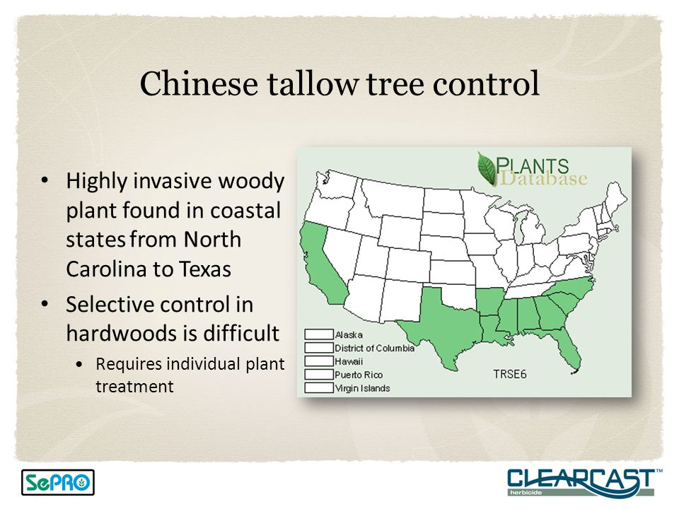 Chinese tallow tree control