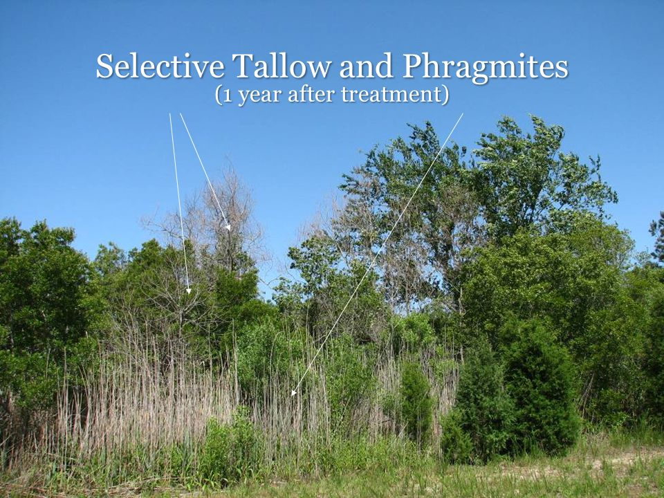 Selective Tallow and Phragmites (1 year after treatment)
