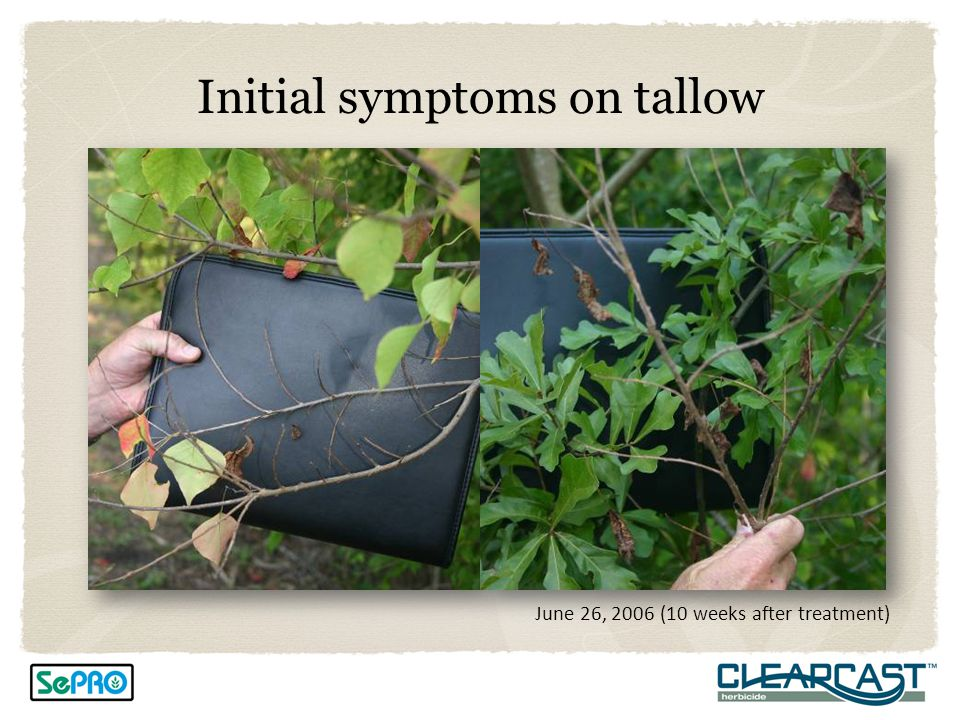 Initial symptoms on tallow