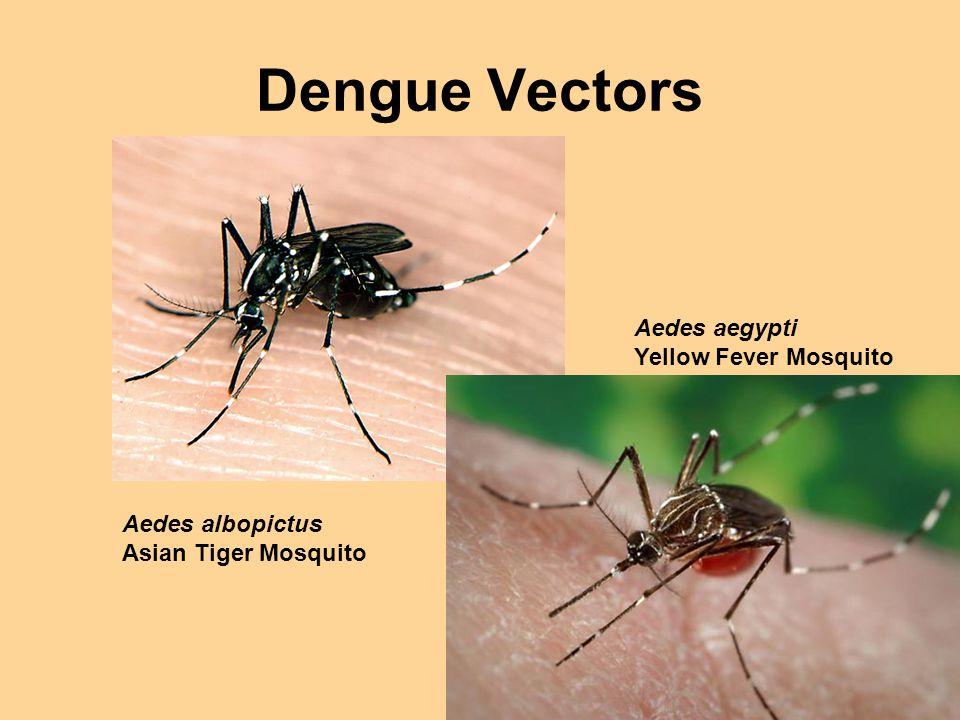 Dengue Vectors Aedes aegypti Yellow Fever Mosquito Aedes albopictus