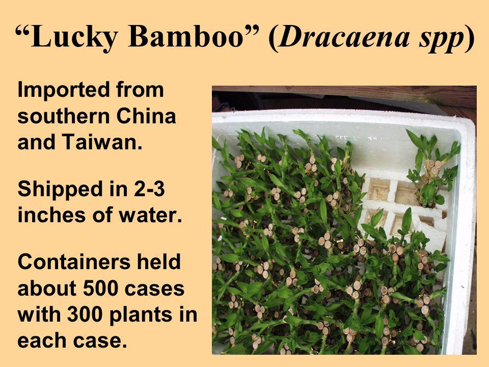Lucky Bamboo (Dracaena spp)