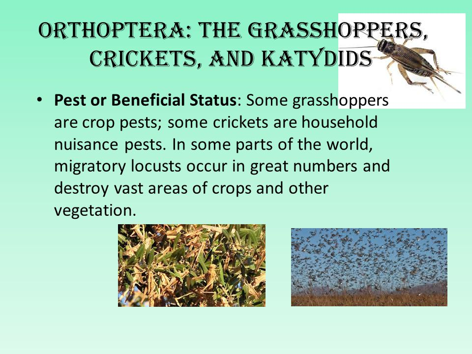 Orthoptera: The grasshoppers, crickets, and katydids