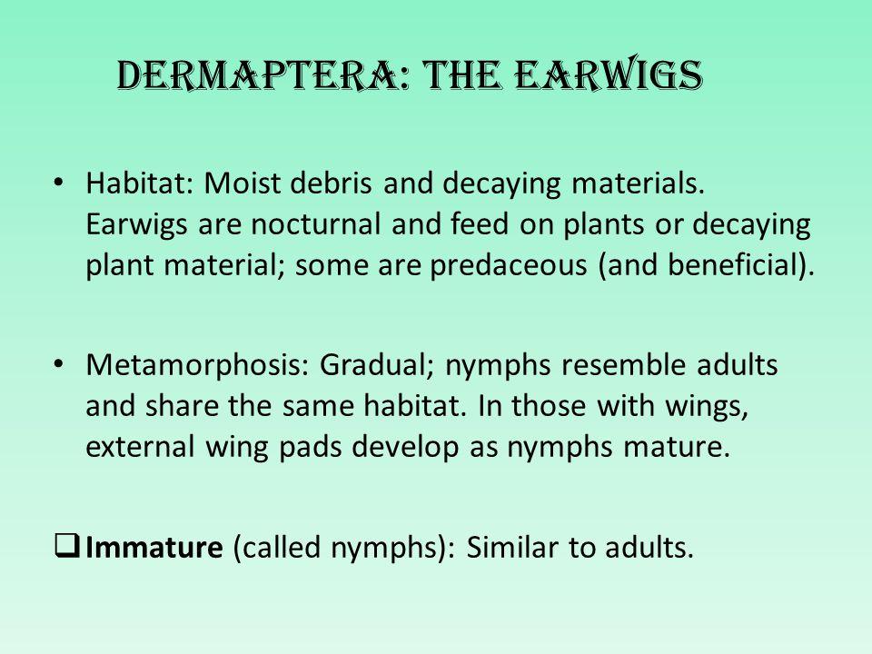 Dermaptera: The earwigs