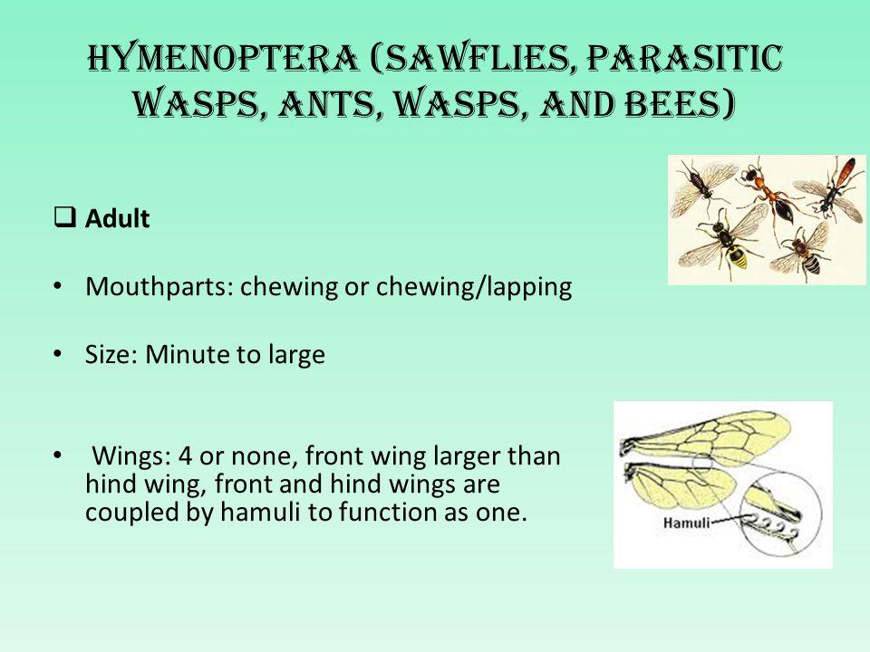 Hymenoptera (sawflies, parasitic wasps, ants, wasps, and bees)