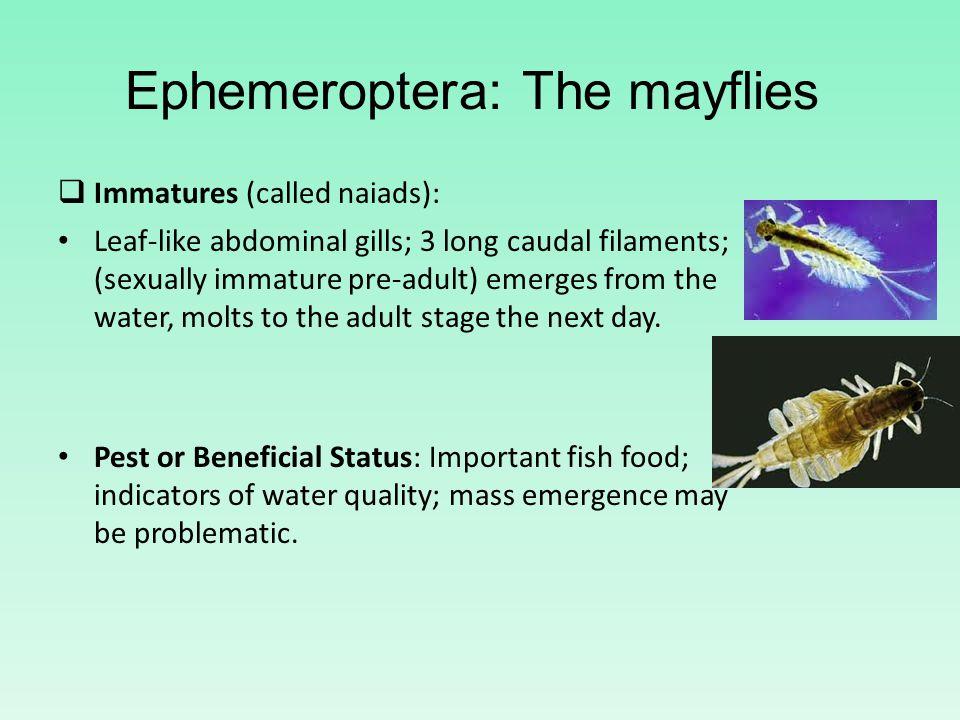 Ephemeroptera: The mayflies