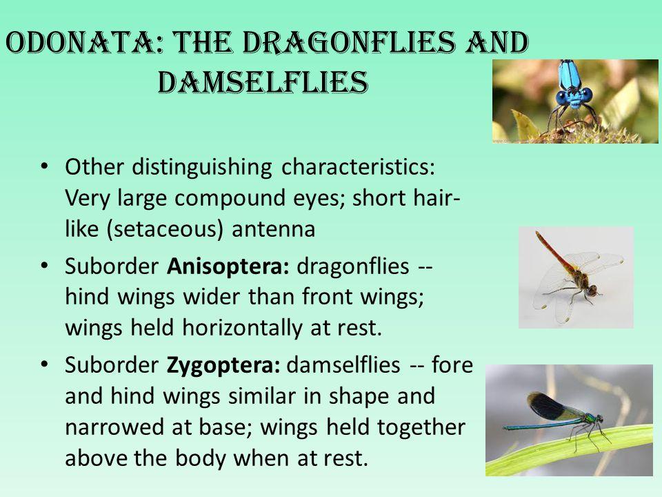 Odonata: The dragonflies and damselflies