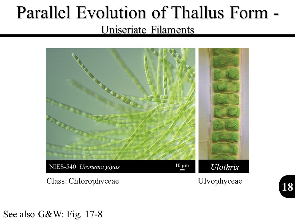 Parallel Evolution of Thallus Form - Uniseriate Filaments