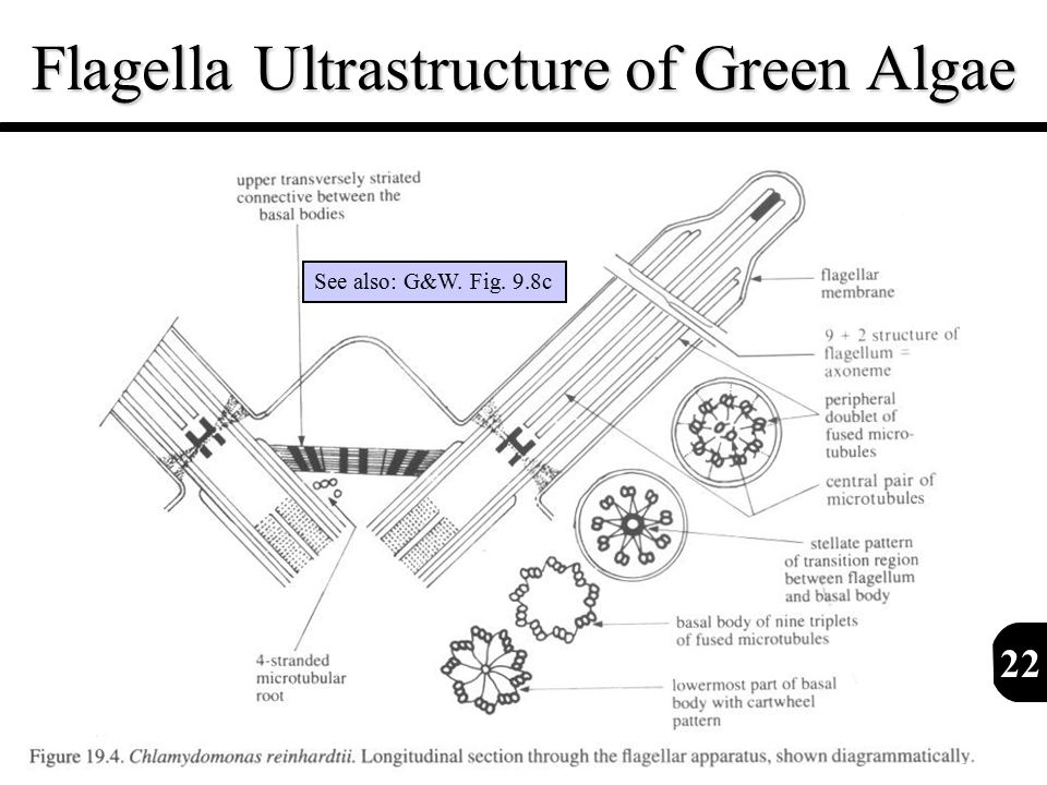 Flagella Ultrastructure of Green Algae