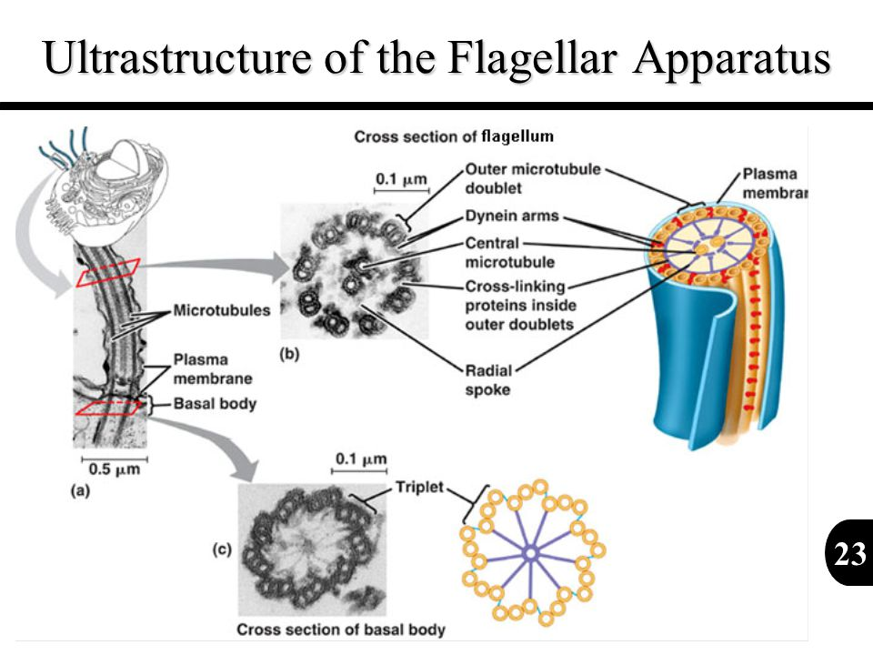 Ultrastructure of the Flagellar Apparatus