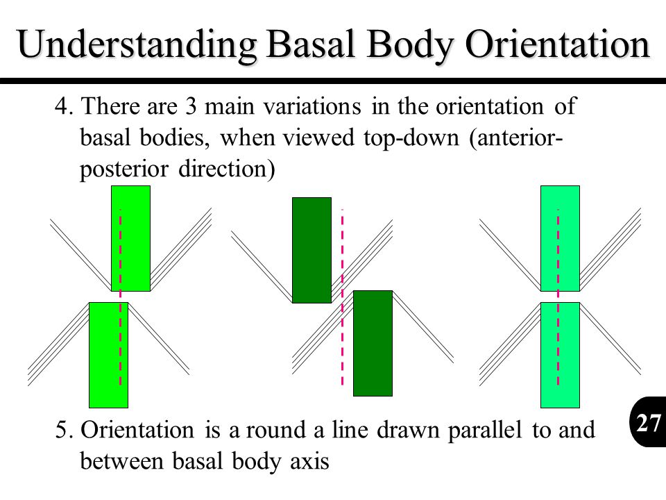 Understanding Basal Body Orientation