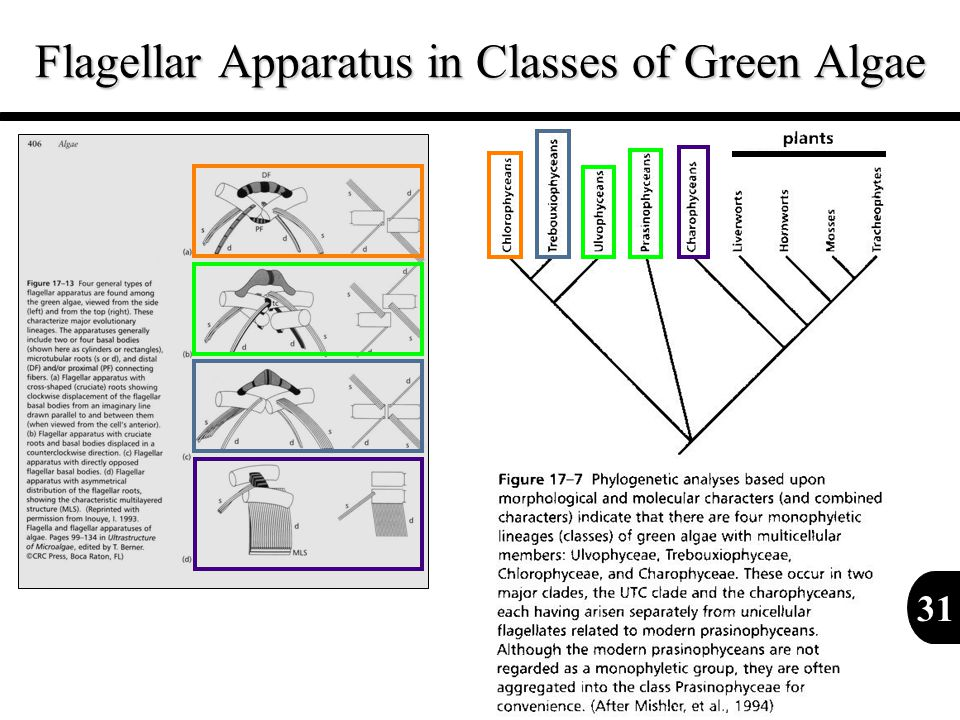 Flagellar Apparatus in Classes of Green Algae