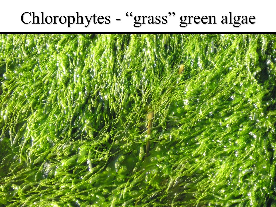 Chlorophytes - grass green algae