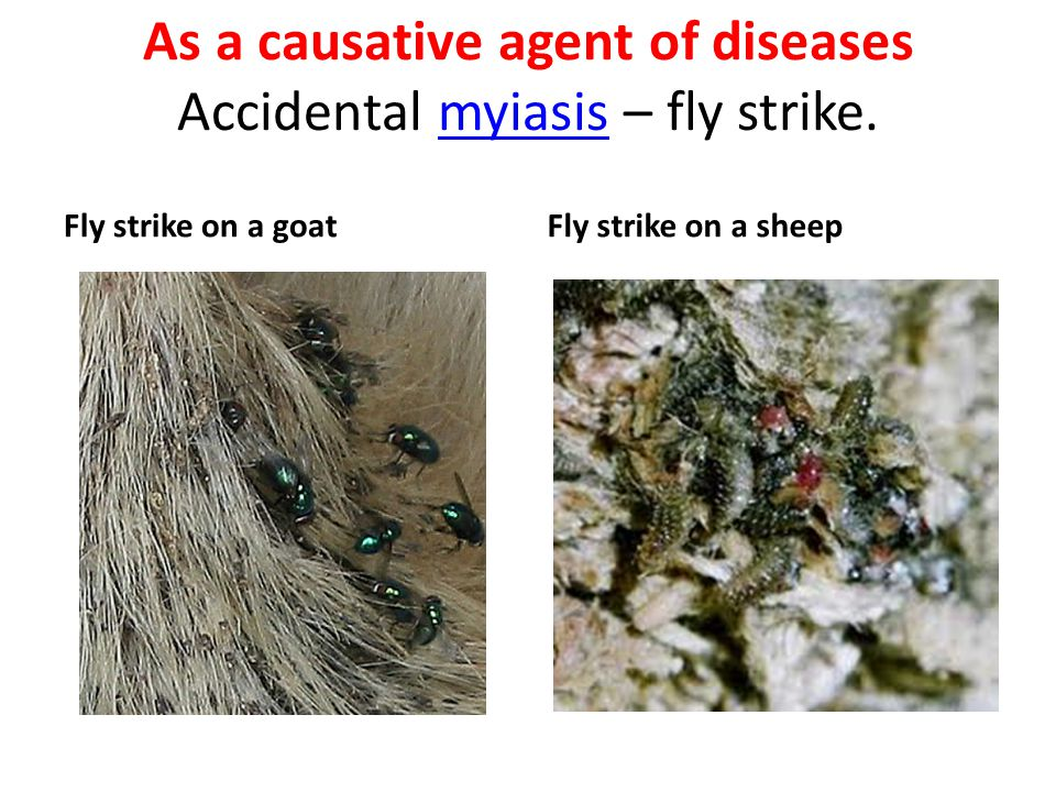 As a causative agent of diseases Accidental myiasis – fly strike.
