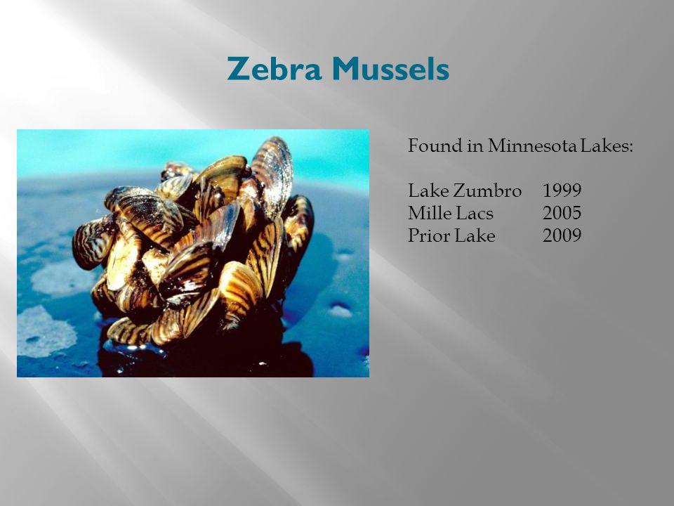 Zebra Mussels Found in Minnesota Lakes: Lake Zumbro 1999