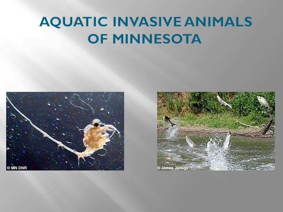 AQUATIC INVASIVE ANIMALS OF MINNESOTA
