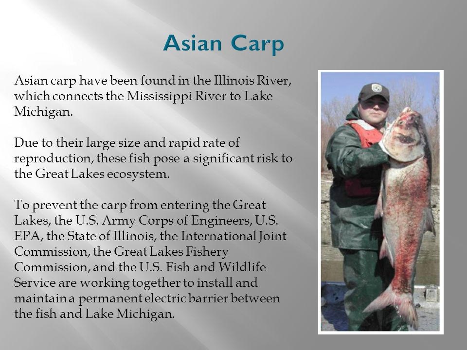 Asian Carp Asian carp have been found in the Illinois River, which connects the Mississippi River to Lake Michigan.