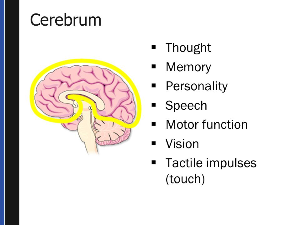 Cerebrum Thought Memory Personality Speech Motor function Vision
