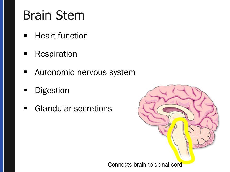 Brain Stem Heart function Respiration Autonomic nervous system