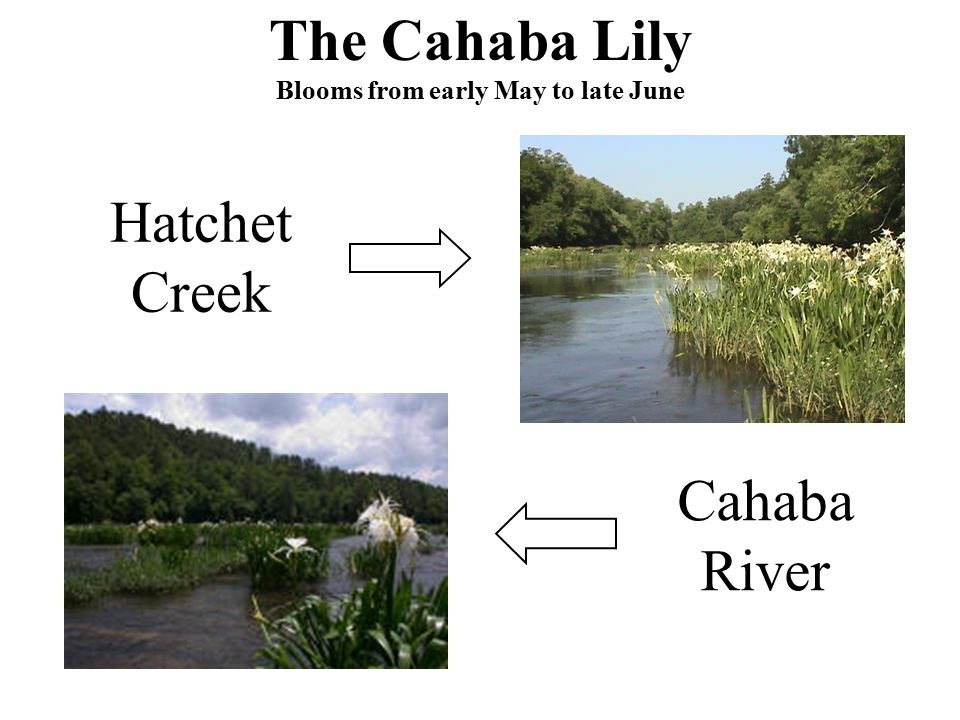 The Cahaba Lily Blooms from early May to late June