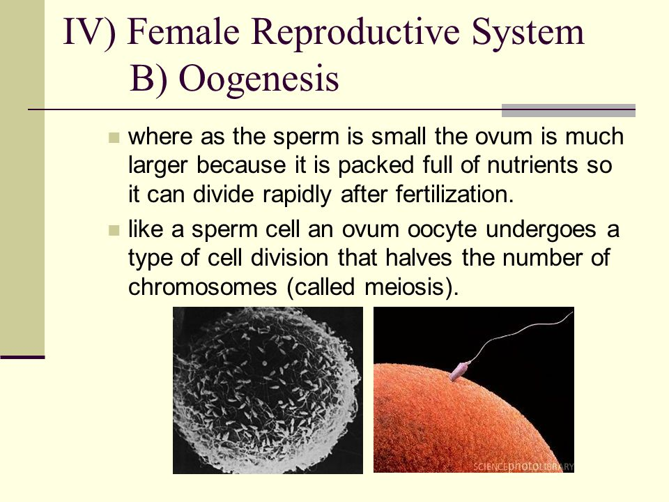 IV) Female Reproductive System B) Oogenesis