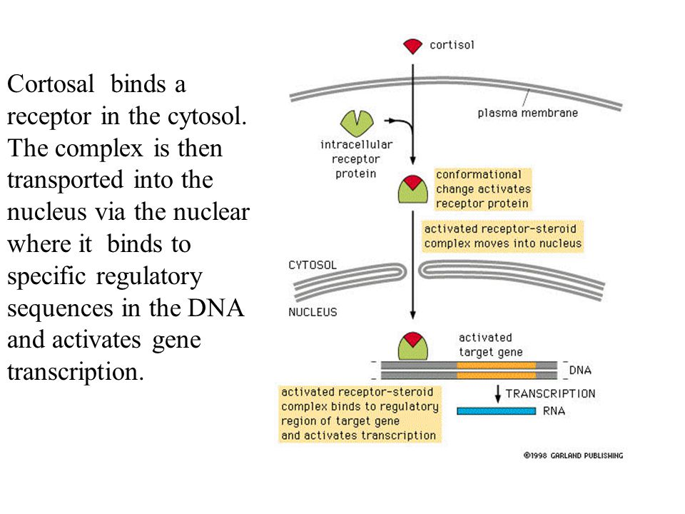 Cortosal binds a receptor in the cytosol
