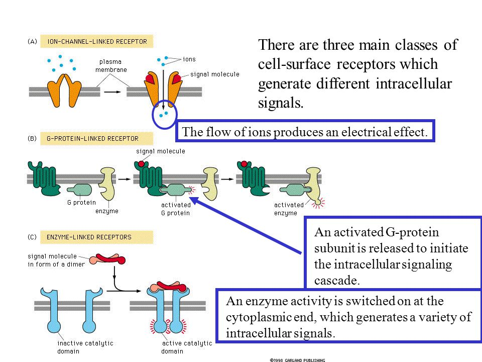 There are three main classes of cell-surface receptors which generate different intracellular signals.