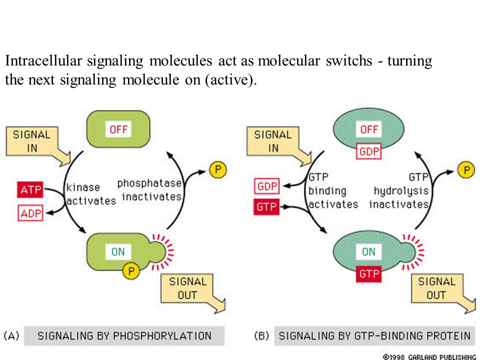 Intracellular signaling molecules act as molecular switchs - turning the next signaling molecule on (active).