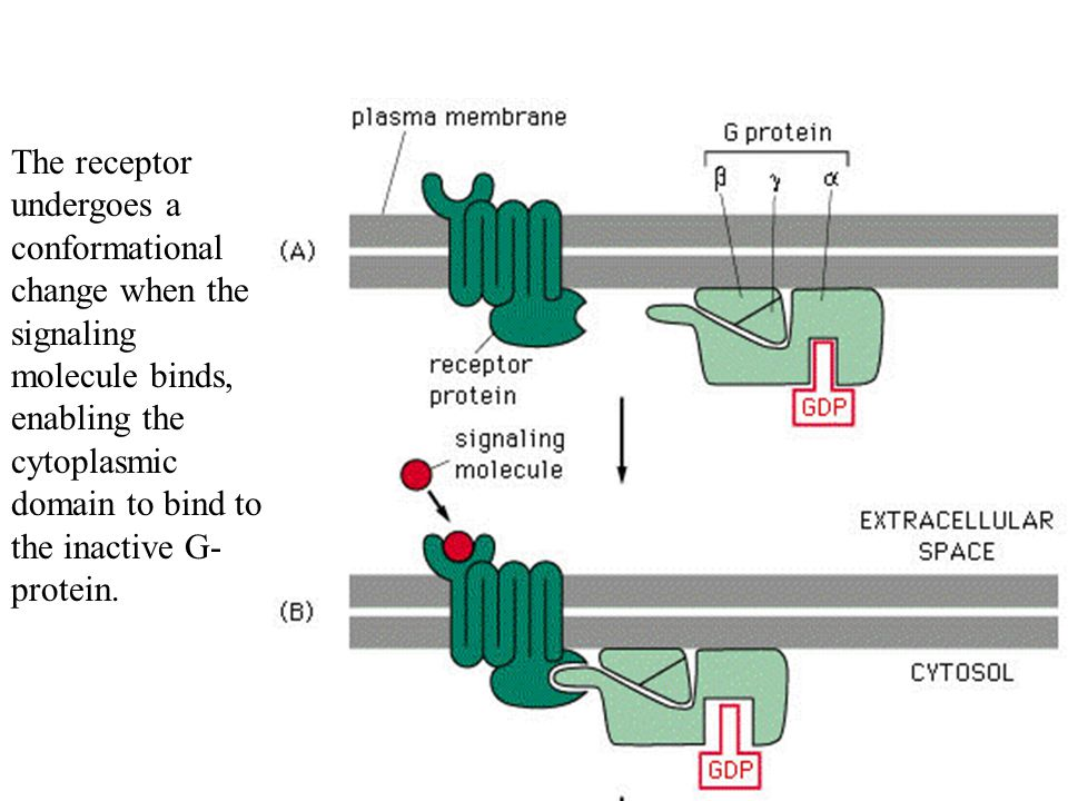 The receptor undergoes a conformational change when the signaling molecule binds, enabling the cytoplasmic domain to bind to the inactive G-protein.