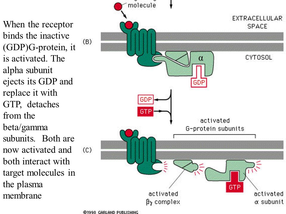 When the receptor binds the inactive (GDP)G-protein, it is activated