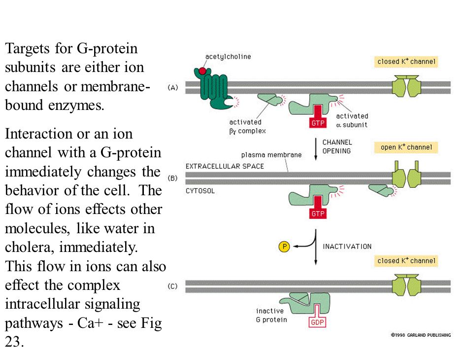 Targets for G-protein subunits are either ion channels or membrane-bound enzymes.