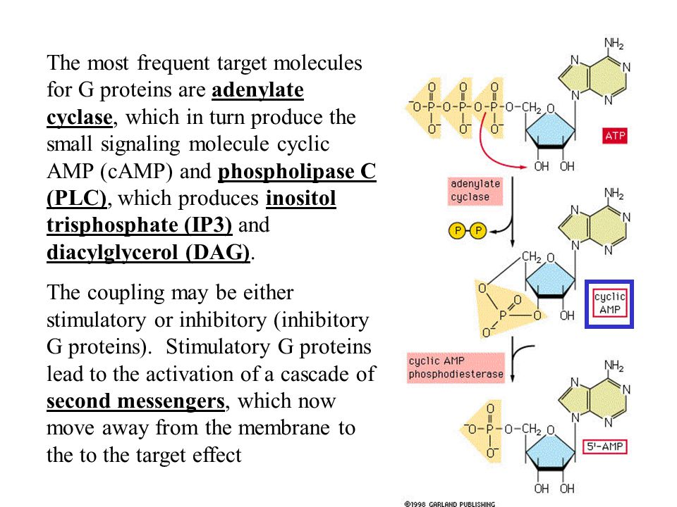 The most frequent target molecules for G proteins are adenylate cyclase, which in turn produce the small signaling molecule cyclic AMP (cAMP) and phospholipase C (PLC), which produces inositol trisphosphate (IP3) and diacylglycerol (DAG).