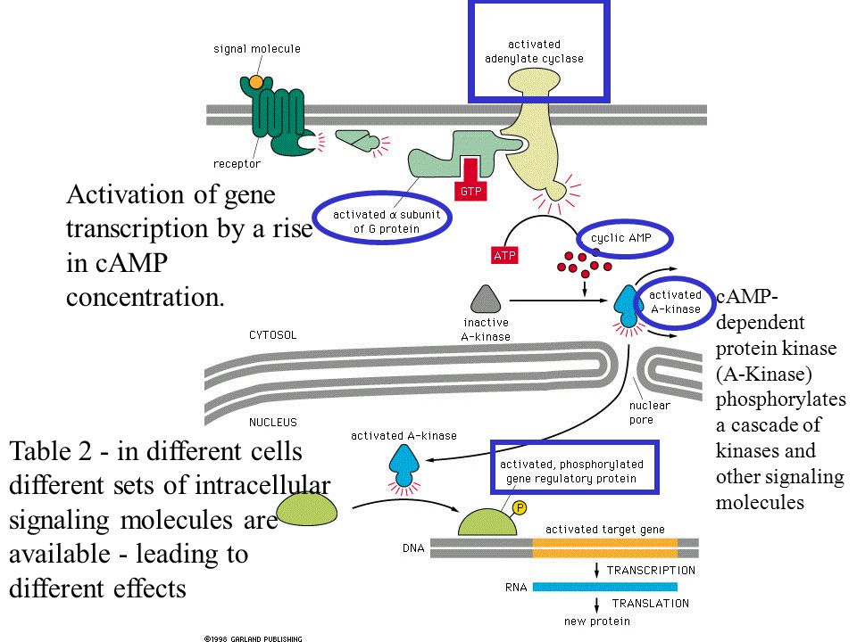 Activation of gene transcription by a rise in cAMP concentration.